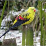 Роскошный попугай - уход