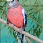 Розовобрюхий травяной попугай - содержание