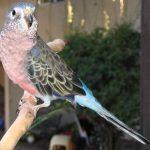 Розовобрюхий травяной попугайчик - экзотический вид