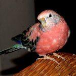 Розовобрюхий травяной попугайчик - популярный вид