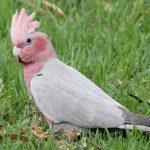 Розовый какаду гала - контактная порода