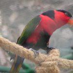 Широкохвостый лори - общительный попугай