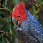 Шлемоносный какаду - красивый вид попугаев