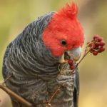 Шлемоносный какаду - недружелюбный вид попугаев