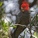 Шлемоносный какаду - необычный вид попугаев