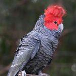 Шлемоносный какаду - вид попугаев, плохо подходящий для домашнего содержания