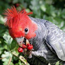 Шлемоносный какаду - вид попугаев, живущий в заповеднике