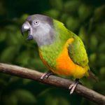 Сенегальский длиннокрылый попугай - описание вида