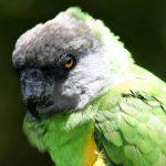 Сенегальский длиннокрылый попугай - особенности вида