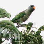 Синегузый попугай - описание вида