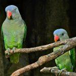 Синегузый попугай - -особенности вида