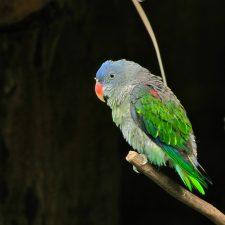 Синегузый попугай - тихий вид
