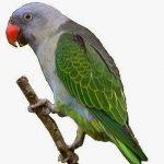 Синегузый попугай - уход