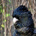 Траурный какаду - описание вида