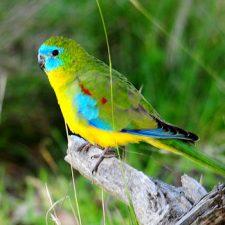 Травяной попугай - экзотический вид