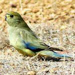 Травяной попугай - описание вида
