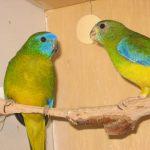 Травяной попугай - особенности вида
