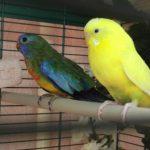 Травяной попугай - популярный вид