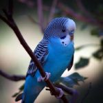 Волнистый попугай - дружелюбный вид