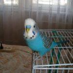 Волнистый попугай - хорошо обучаем речи