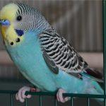 Волнистый попугай - особенности вида