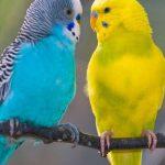 Волнистый попугай - самый распространенный вид