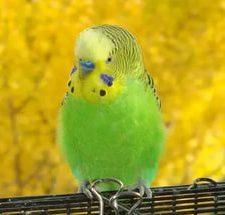 Волнистый попугай - содержание
