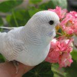 Волнистый попугай - уход