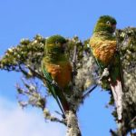 Андские попугаи - доброжелательный вид