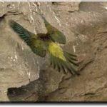 Андские попугаи - игривый вид