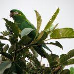 Андские попугаи - редкий вид