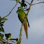 Андские попугаи - занесены в Красную книгу