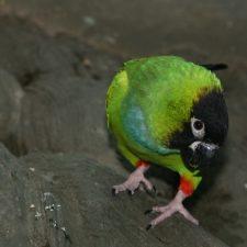 Черноголовый попугай - описание вида