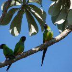 Черноголовый попугай - особенности вида