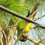 Черноголовый попугай - позитивный вид