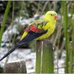 Горный попугай - описание вида