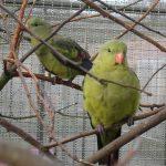 Горный попугай - особенности вида