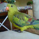 Горный попугай - содержание