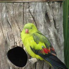 Горный попугай - выносливый вид