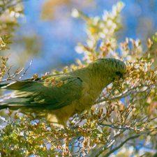Изумрудный попугай - активный вид