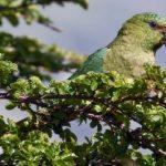 Изумрудный попугай - игривый вид
