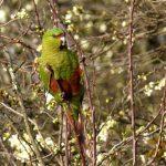Изумрудный попугай - описание вида