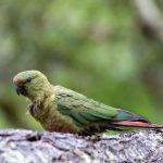 Изумрудный попугай - особенности вида