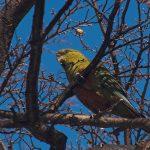 Изумрудный попугай - содержание
