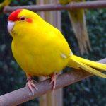 Какарики - описание вида