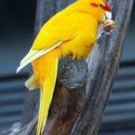 Какарики - особенности вида