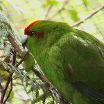 Какарики - подвижный вид