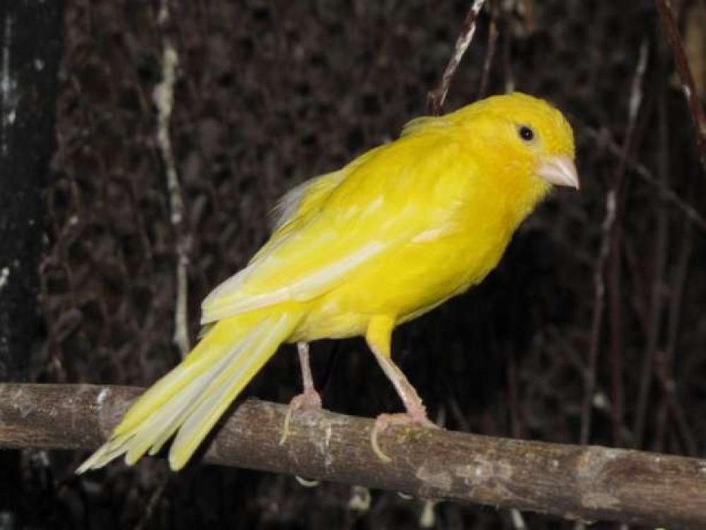 Canary Varieties amp Species  Beauty of Birds