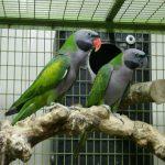 Китайский кольчатый попугай - дружелюбный вид