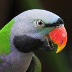 Китайский кольчатый попугай - описание вида